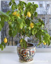 Павловский комнатный лимон