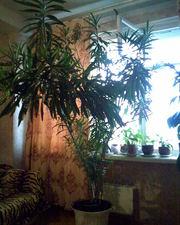 комнатное растение олеандр
